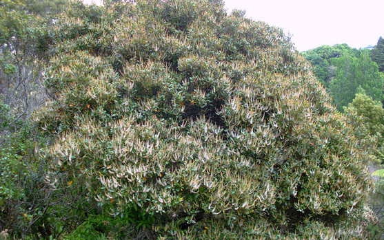 Kamahi Tree.jpeg