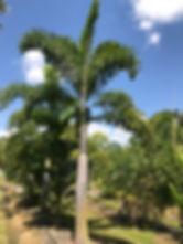 Foxtail palm.jpg