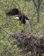 Bald Eagle Nest on the Delaware River