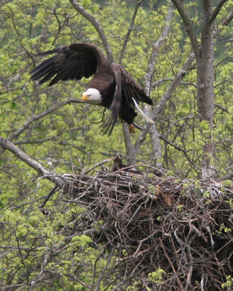 Bald Eagle Nest on the Delaware River
