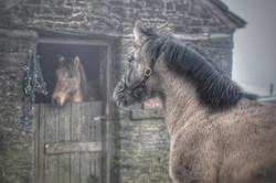 Balmoral MacDougall Highland Pony Colt