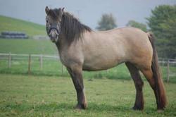 Highland Pony For Sale