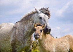 Tower Bluebell Girl and colt
