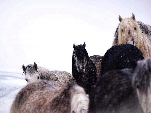 Highland Pony Christmas Cards (4 pack)