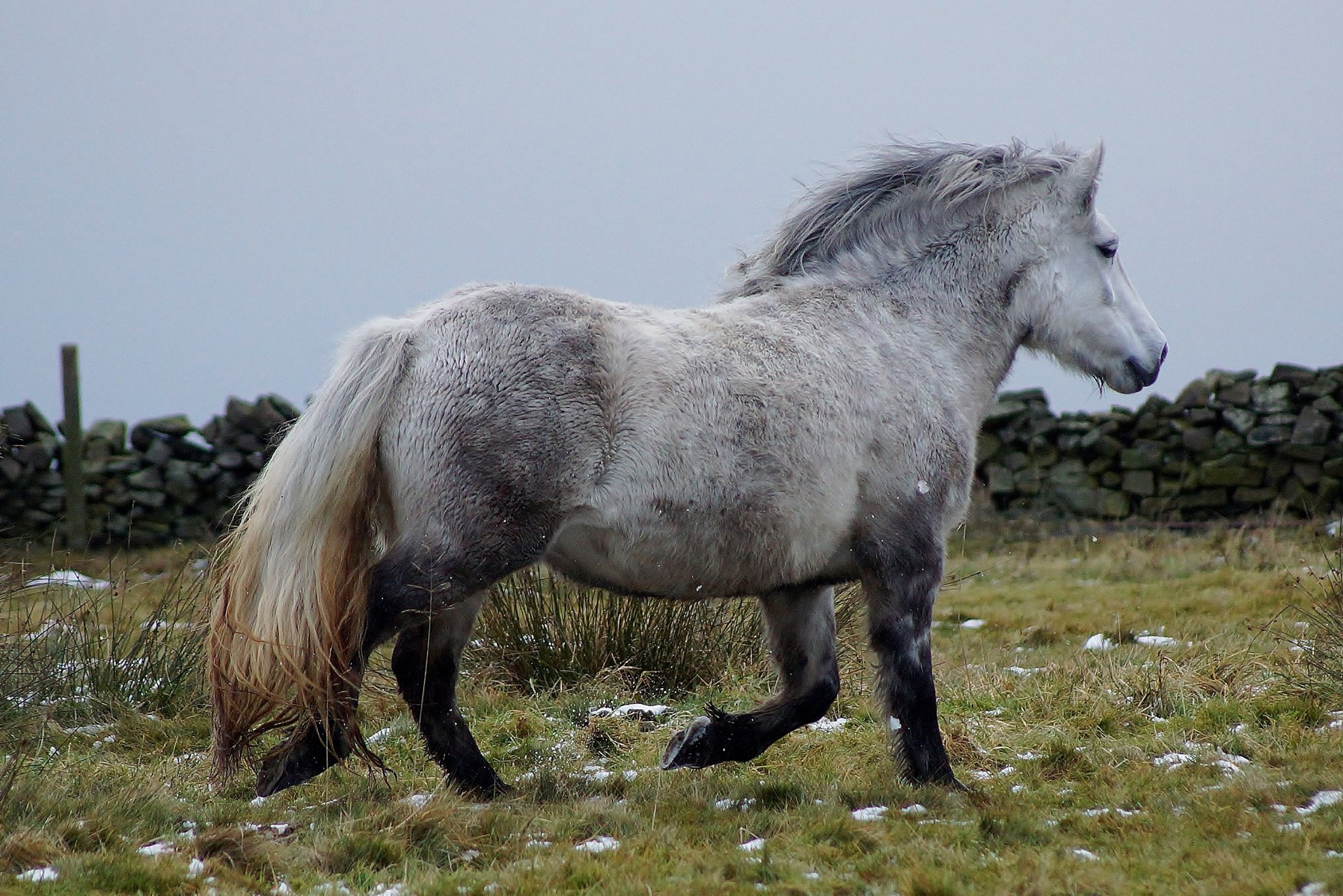 Highland Pony - Knockandy Rose