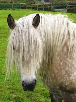 Highland Pony - Hobcroft Koko