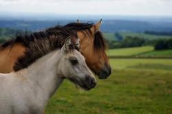 Heald Town Highland Pony Stud 2017 Chari