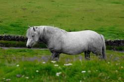 Highland Ponies For Salr