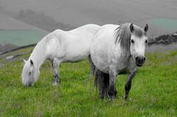 Highland Pony - Edindurno Fraoch