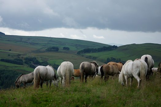 Heald Town Highland Ponies