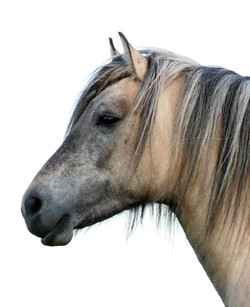 Highland Pony mare