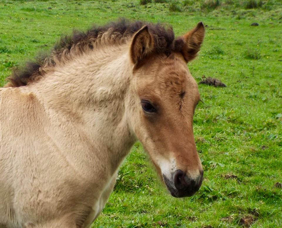 Highland pony for sale