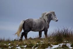 Highland Ponies For Sale