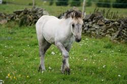 Highland Pony filly