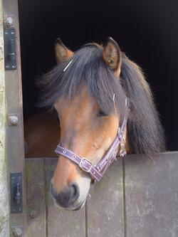 Heald Town Darwin Highland Pony Colt