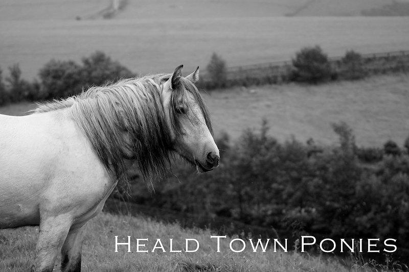 Heald Town Highland Pony Stud - Heald Town Bonny Heather