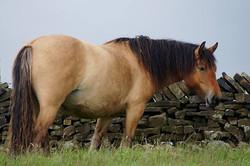 Heald town highland pony stud