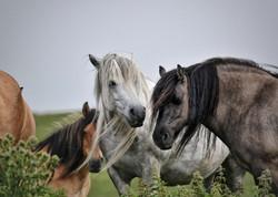 Lagalgarve Ngauruhoe Highland Pony Mare