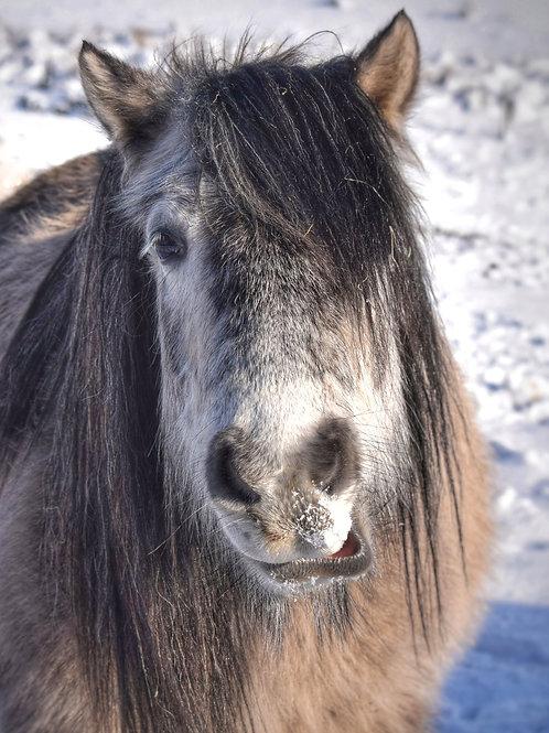 Highland Pony Christmas Cards - 8 Pack