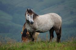 Highland Pony - Tower Bluebell Girl
