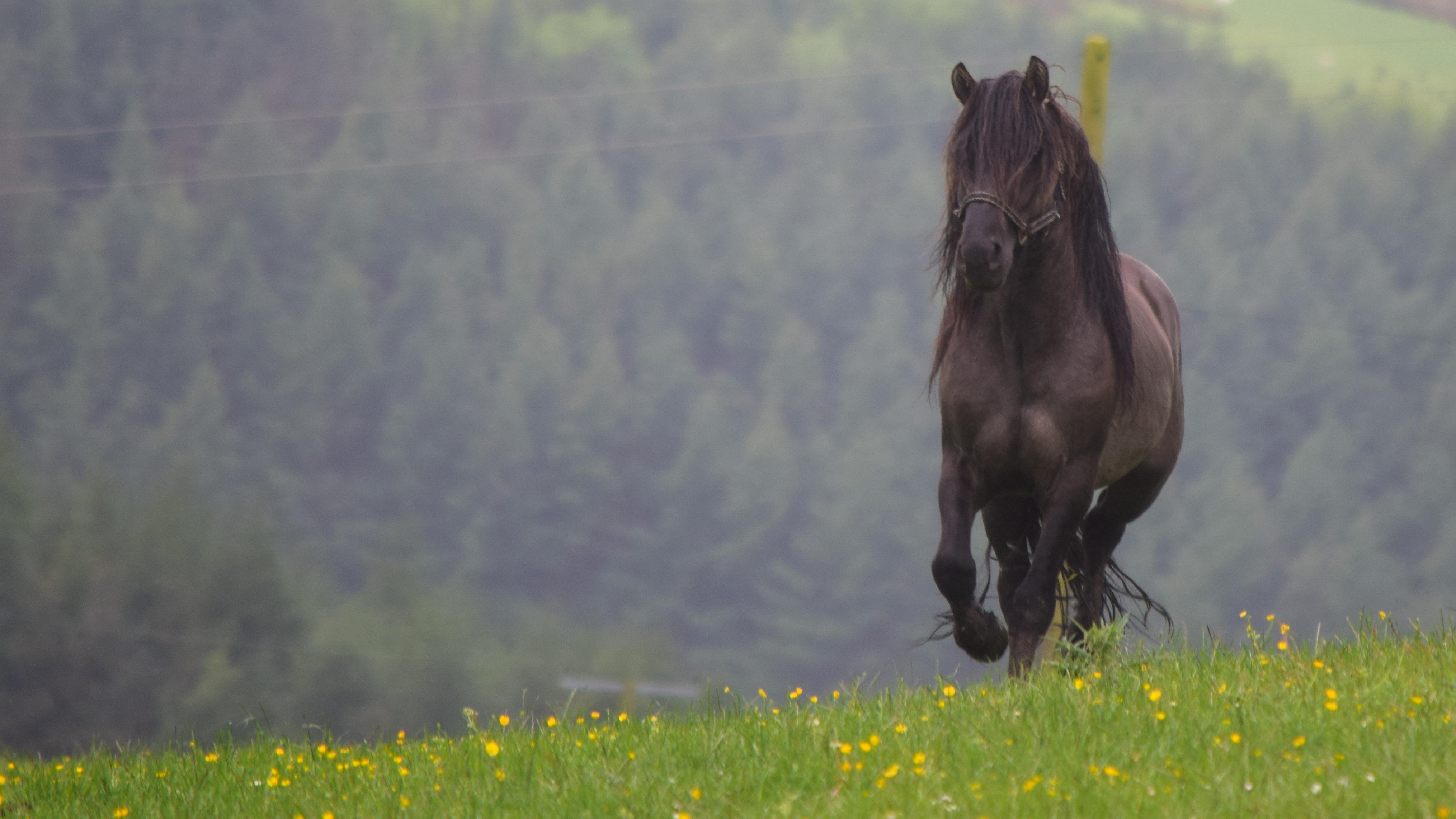 Heald Town Highland Ponies Stallion