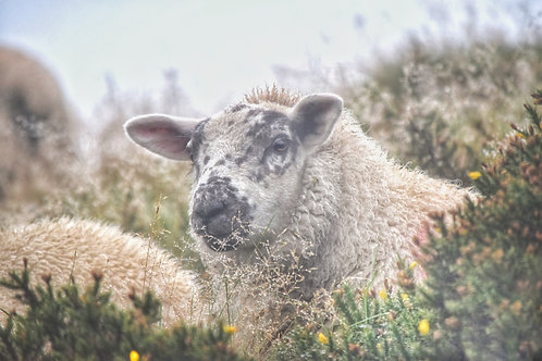 'Sheep' an A3 Professionally Mounted Photography Print