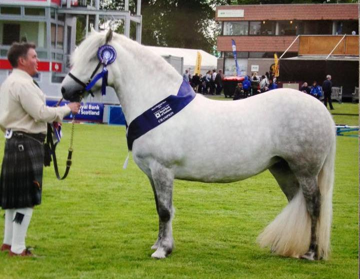 Champion Highland Pony