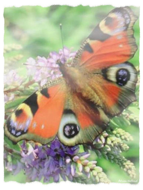 A4 Butterfly Framed Print