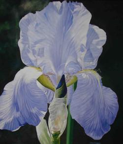Iris in Mikes Garden