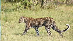 Discover Africa with Ntanda Venutres Leopard.png
