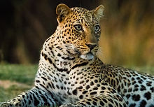 A-Leopard-Ntanda-Ventures.jpg