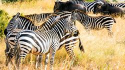 Zebra and Wildebeest seen on walking safaris Zambia Ntanda Ventures