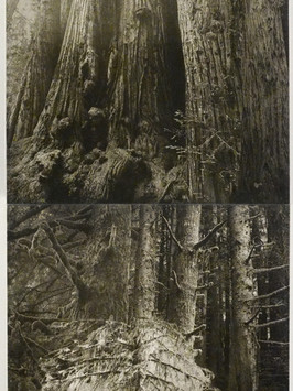 Tall Trees, Wild Trees