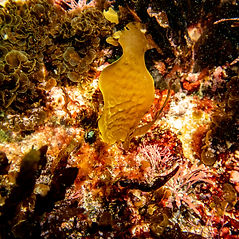 Juvenile kelp.jpg
