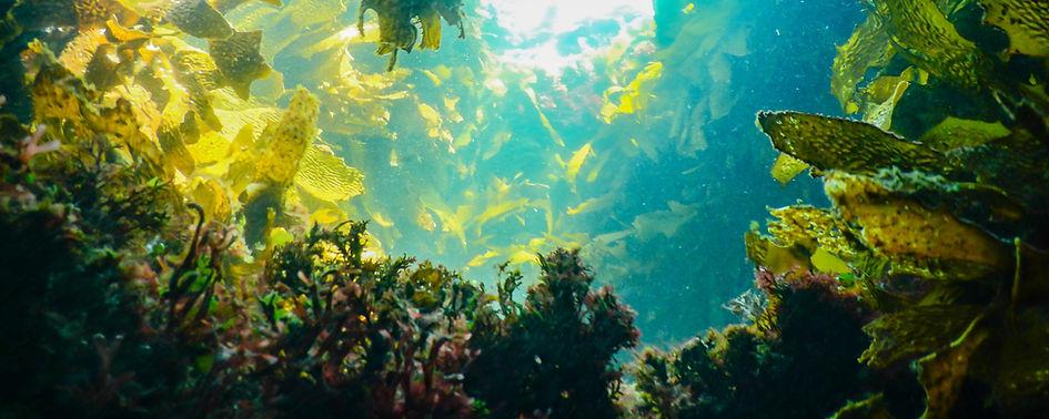 Kelp reef.jpg