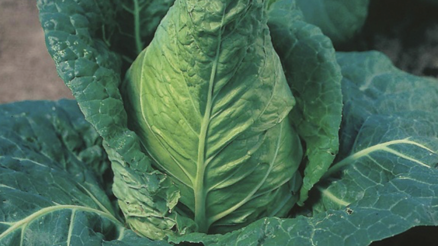 Cabbages Hispi (£/each)
