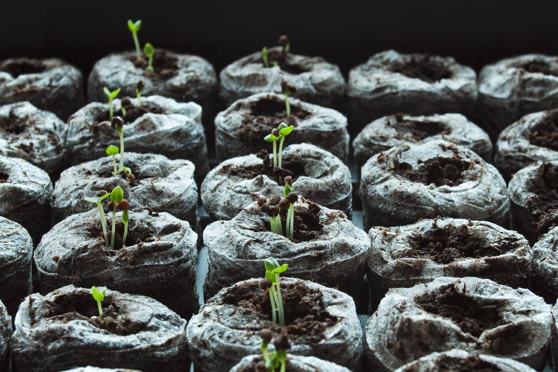 Malva sprouts