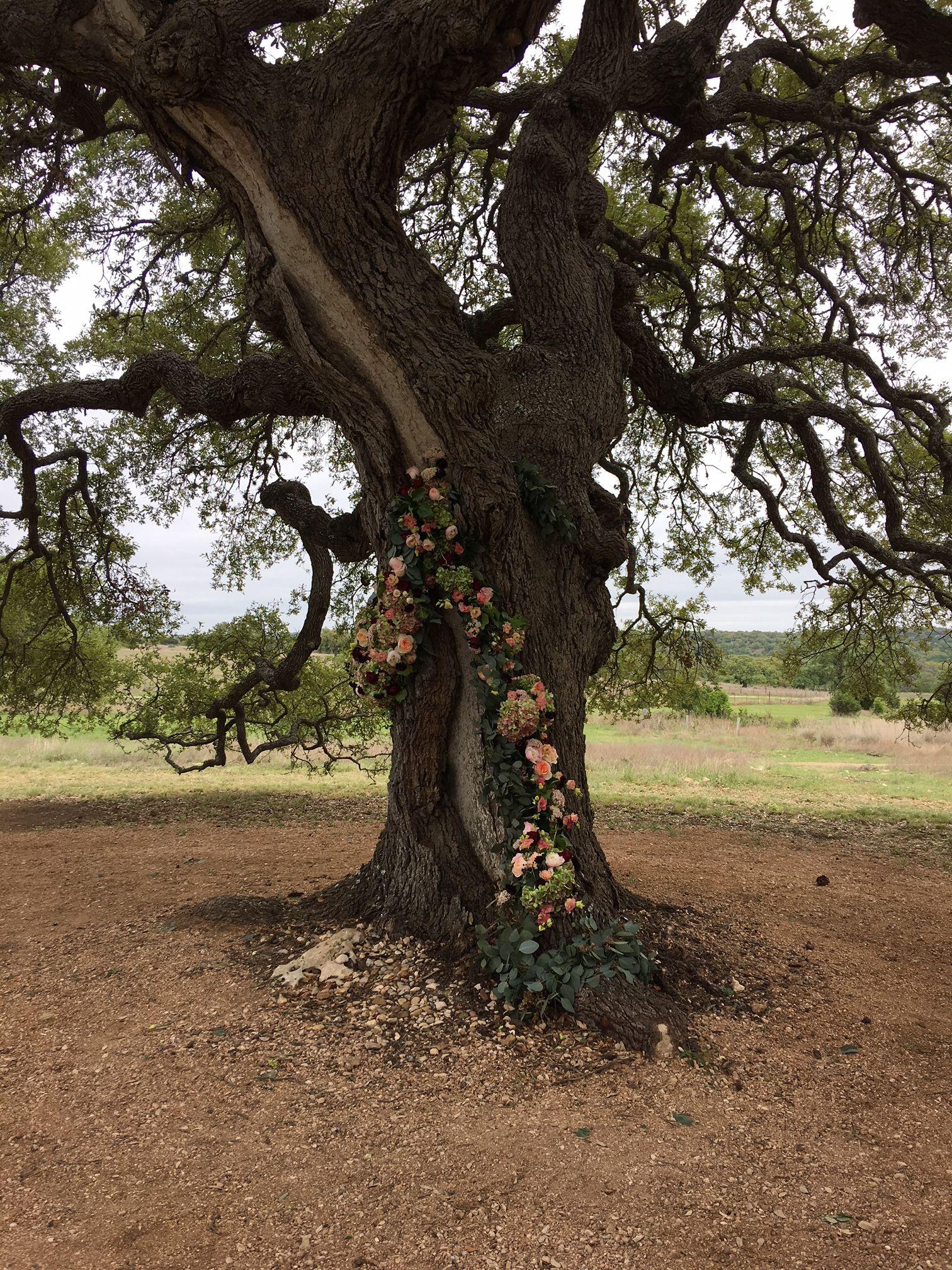 Cascade Oak, festooned with flowers!