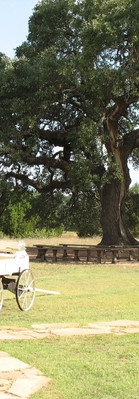 Get Married under our beautiful Oak Tree: Cascade Oak for outdoor weddings at The Alexander at Creek Road in Dripping Springs, near Austin, Texas.  A hill country wedding venue with onsite vacation rentals for a Wedding Weekend.