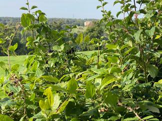 Blackberries growing in the hedgerows