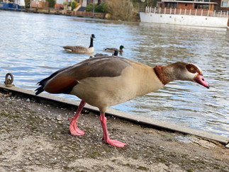 I think this is an Egyptian Goose