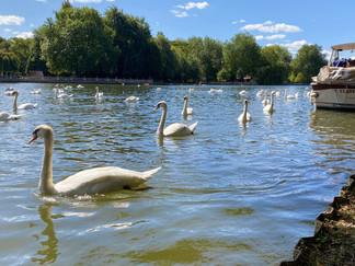 Swans galore!
