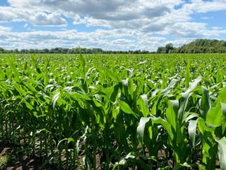 Impressive corn field