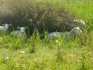 Sheep resting in the shade