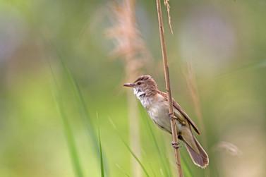 Great Reedwarbler