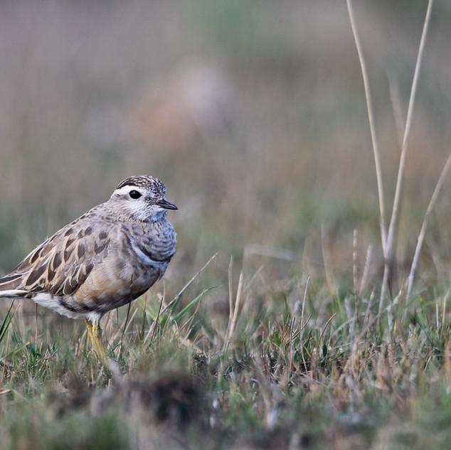 Dotterels are present in remote areas from August