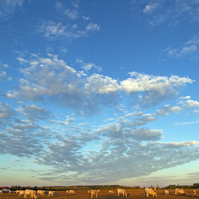 cows and sky