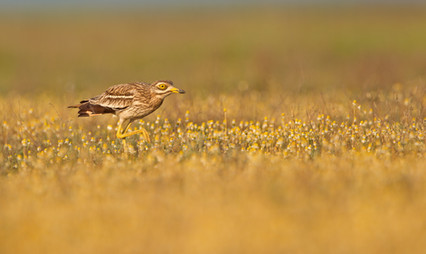 The very rare Stone Curlew