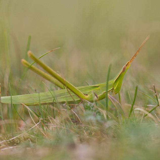 Common Cone-headed Grasshopper
