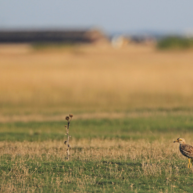 Stone curlew in a traditional autumn gathering place